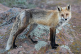 Wiley Fox Posed For Me