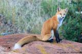 Fox Strikes a Pose