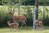 Deer family back yard s  2.jpg