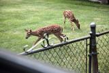 Deer in back yard  s 3.jpg