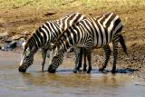 Masai Mara - Zebra drinking