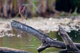 Heron on a limb