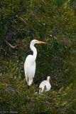 Perched Egret