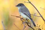 Flycatcher on yellow