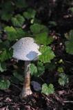 Mushroom 5089