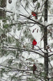 cardinals 5599