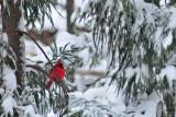 10 Cardinal 5583