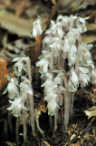 Indian pipes 5748