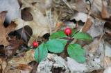 Tea berry in West Virgina 6460