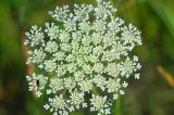 Queen Anne's Lace 8929