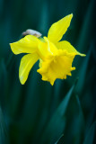 Narcisos V