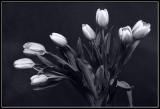 Tulipan VI