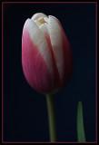 Tulipan IX