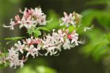 Piedmont Azalea