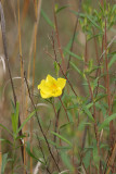 Frostweed