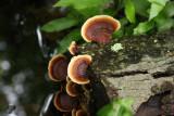 Ling Chih (Ganoderma lucidum)