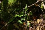Walking Fern in natural light