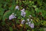 Blue Wood Aster (Aster cordifolius)