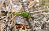 Eastern Pondhawk (female)