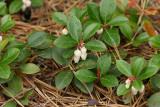 Teaberry (Gaultheria procumbens)