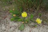 Prickly Pear Cactus (Opuntia humifusa)