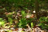 Southern Ground Cedar (Lycopodium digitatum)