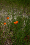 Orange Milkwort (Polygala lutea)