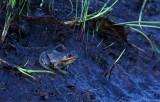 Carpenter Frog!