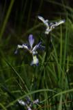 Slender Blue Flag Iris (Iris prismatica)