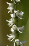Spiranthes vernalis- Spring Ladies Tresses