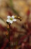 Spatulate-leaved Sundew (Drosera intermedia)