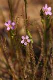 Threadleaf Sundew (Drosera filiformis)