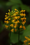 Platanthera cristata- (Orange Crested Orchid)