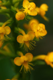 Orange Crested Orchid (Platanthera cristata)