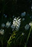 White-fringed Orchids (Platanthera blephariglottis)