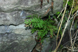Fragile Fern (Cystopteris fragilis)
