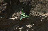Smooth Cliffbrake (Pellaea glabella)