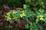St. Andrews Cross (Ascryrum hypericoides)