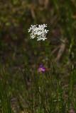 Lance-leaved Sabatia (Sabatia difformis)