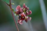 Groundnut (Apios americana)
