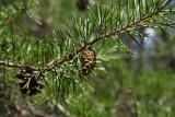 Virginia Pine (Pinus virginiana)