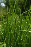 Atlantic Manna Grass (Glyceria obtusa)