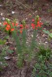 Scarlet Gilia/Standing Cypress (Ipomopsis rubra)
