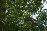 Sand Hickory (Carya pallida)