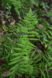 Marsh Fern (Thelypteris palustris)