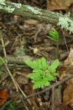 Cut-leaved Grape Fern (Botrychium dissectum forma obliquum)