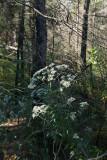 Eupatorium serotinum (Late Flowering Thoroughwort)