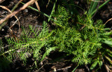 Proserpinaca pectinata (Cut-leaved Mermaid Weed)