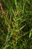 Dulichium arundinaceum (Three Way Sedge)