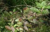 Red Admirals on Buttonbush (Cephalanthus occidentalis)